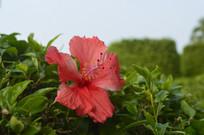 人工种植的扶桑花