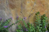 石碑旁的萼距花