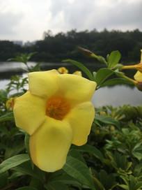 硕大的黄婵花朵