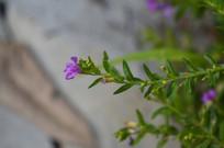 小朵的萼距花
