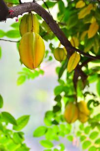 杨桃农作物