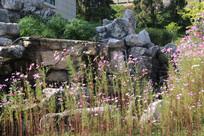 岩石前粉红色的格桑花