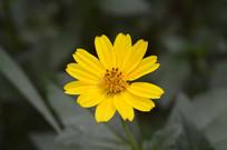 一朵田黄菊