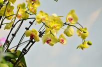 一株蝴蝶兰鲜花