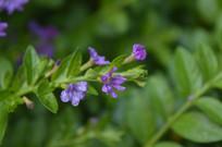 紫花满天星花朵