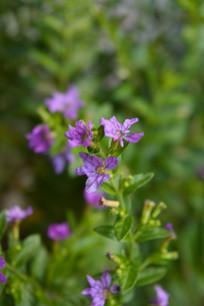 紫蓝色萼距花