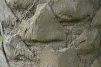 贝叶棕树干表面图片