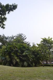 草坪和葵树
