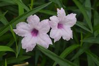 淡粉色翠芦莉花开了