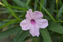 淡粉色光叶蝴蝶草