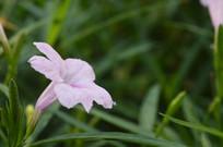 淡粉色花朵翠芦莉