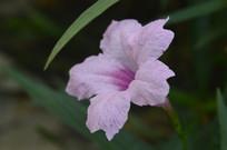 淡粉色花朵兰花草