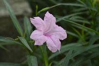 淡粉色花朵芦莉草