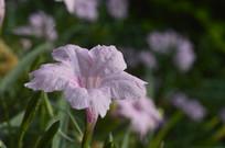 粉色花朵光叶蝴蝶草