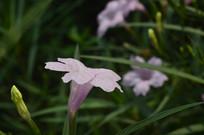 光叶蝴蝶草花朵