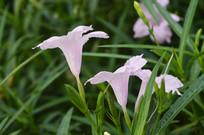 观赏花卉光叶蝴蝶草