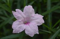 观赏花卉蓝花草