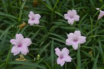 观赏花卉植物兰花草
