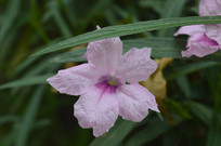 花姿幽美的光叶蝴蝶草