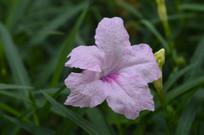 花姿幽美的蓝花草