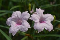 两朵光叶蝴蝶草