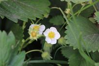 美丽的草莓花