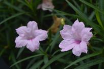 美丽的兰花草