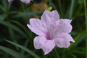 美丽的人字草花朵