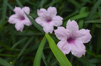 日日开花的光叶蝴蝶草