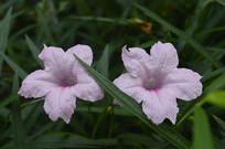 日日开花的蓝花草