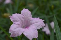 盛开的淡粉色翠芦莉