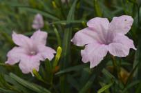 四季开花的光叶蝴蝶草