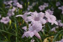 四季开花的兰花草
