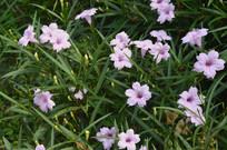 夏日里的光叶蝴蝶草