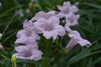 一朵朵光叶蝴蝶草