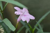 一朵光叶蝴蝶草