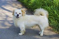 一只白色的串儿狗