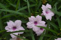 优雅的光叶蝴蝶草