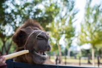 吃爆米花的骆驼