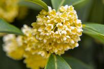 花团锦簇的桂花
