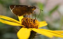 蝴蝶采集花蕾