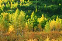 鎏金的林海树林