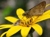 蜜蜂和蝴蝶采集花蕾