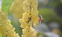 蜜蜂在桂花树采蜜