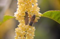 蜜蜂在桂花树上采蜜