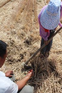 农民用䦆头在麦田里播种玉米