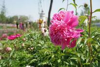 唐山世园会的粉色鲜花