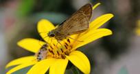 洋姜花花心上的蜜蜂和蝴蝶