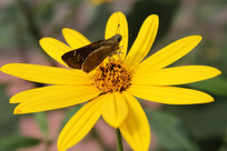 洋姜花吸引蝴蝶