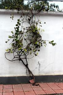 院墙边种植的葡萄树
